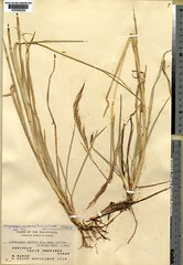 Chrysopogon nemoralis (Andropogon gryllus v. philippinensis, IT) K290065 (filibot.web) Tags: plants asia philippines botany gryllus specimens gramineae andropogon nemoralis chrysopogon filibot