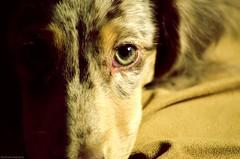 Blakey's Eyes (allysoyjix) Tags: dog detail macro cute closeup puppy fur photography eyes nikon perfect adorable greeneyes blanket aww dachsund puppydogeyes puppyeyes dappledachshund 55200mm d5100 nikond5100 detailedphotos