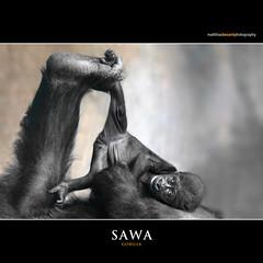 SAWA (Matthias Besant) Tags: baby animal animals mammal deutschland monkey tiere hessen gorilla ape monkeys mammals apes fell tier affen primates affe primat gorillababy hominidae primaten querformat saeugetier saeugetiere menschenaffen specanimal hominoidea trockennasenaffe menschenartige affenfell menschenartig affenblick highqualityanimals flickrsfinestimages1 matthiasbesantphotography matthiasbesant