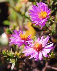 Purple wood aster (xela2013) Tags: flowers bokeh blumen natuer nautur