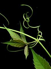 54679-05 Parthenocissus quinquefolia (horticultural art) Tags: leaves vine virginiacreeper parthenocissus parthenocissusquinquefolia horticulturalart