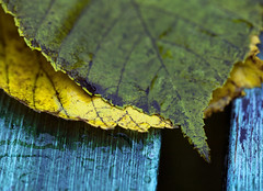 Autumn leaves [Explored] (Voss-Nilsen) Tags: blue autumn macro green nature rain yellow closeup digital canon botanical photography eos photo droplets flickr foto natur cyan drop autumnleaves raindrops droplet 5d makro regn gul macroshot raindrop 2012 hst bl grnn naturbilder nrbilde botanisk hsten gult regndrpe drpe grnt autumnleaf naturen macroshots bltt digitalt drper hstlv naturfoto hstfarger naturbilde digitalfoto makrobilder makrobilde regnvr hstblader regndrper nrbilder botanikk naturfotografi vossnilsen