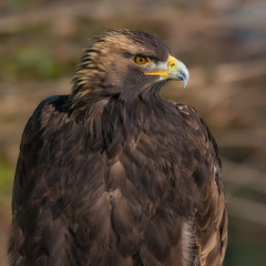 Golden eagle (Phiddy1) Tags: birds canada crc eagle goldeneagle ontario