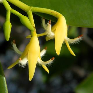 Red Mangrove - Rhizophora mangle