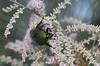 Field Of Delight (harefoot1066) Tags: coleoptera polyphaga scarabaeoidea scarabaeidae cetoniinae gymnetini cotinis cotinismutabilis greenfruitbeetle figeaterbeetle tamaricaceae tamarix tamarisk tamarixaphylla atheltree saltcedar