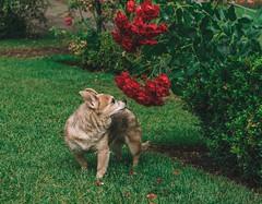Sage (Jake Arciniega) Tags: portland oregon canon7dmarkii 50mm14 vscofilm lighroom internationalrosetestgarden forestpark pdx pomchi chihuahua