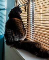 Watching the world go by ( Percy the cat) (Fujifilm X70 28mm f2.8 Compact) (1 of 1) (markdbaynham) Tags: cat feline pet cute percy fuji fujiuk fujix transx apsc 16mp x70 28mm f28 fixed prime compact fujinon