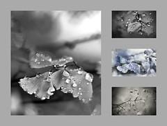 347. Ferns. For Monochrome Monday :-) (Small and Beautiful) Tags: collage monochromemonday macro gray smallandbeautiful