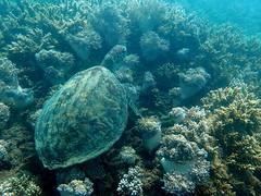 Green sea turtle in the coral Fitzroy Island (dracophylla) Tags: fitzroyisland greatbarrierreef queensland australia