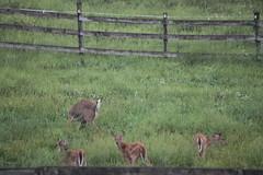 IMG_0115 (thinktank8326) Tags: deer fawn babyanimal babydeer whitetaileddeer