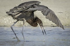 Reddish Egret, Lee County, FL (Blackrock23) Tags: bird heron nikond500 reddishegret florida nikon300mmpf