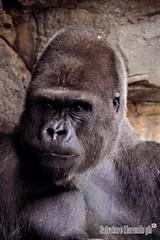 Gorilla (salvatore marando) Tags: gorilla wild wildlife gorillagorilla silverback bioparc bioparcvalencia monkey scimmia primate mammifero ritratto portrait