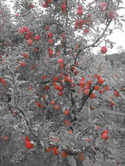 DSCN0377 (mavnjess) Tags: 1 may 2016 cripps pink lady apples orchard red black white bw sacha cin lucinda giblett cooking hibiscus compost composting compostbays chestnuts chestnut tree train carriages rainbow trolley bus trolleybus carriage