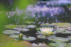 Sparkling Waterlily Pond (lfeng1014) Tags: sparklingwaterlilypond waterlilypond waterlily macro macrophotography canon5dmarkiii 70200mmf28lisii sparkling closeup bokeh depthoffield dof lifeng mississaugagarden