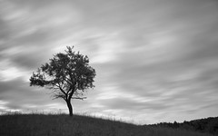 Wenn die Wolken durch die Weinberge ziehen. (derkleinebiber) Tags: buckow weinberge obstbaumapfelbaum landscape landschaft minimalism minimalist minimalismus blackandwhite baum tree lone dreamy schwarzweis naturpark mrkische schweiz
