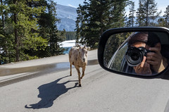 subject and photographer (the_green_squirrel) Tags: banff bighornsheep canada fauna alberta lakeminnewanka mammal improvementdistrictno9 ca