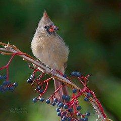 Female Northern Cardinal (jklewis4) Tags: northerncardinal female eating berries snacking