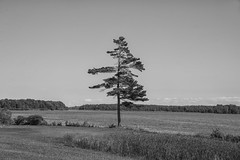 Lonely on the St.Lawrence (Brian Rome Photography) Tags: travel stlawrenceriver longsault vacation dogshow tree holiday summer lone lonely photo photography ontheroad