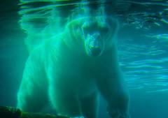 Polar Bear underwater at Sea World San Diego CA (mbell1975) Tags: sandiego california unitedstates us polar bear underwater sea world san diego ca seaworld sd park parc zoo water cal calif usa america american