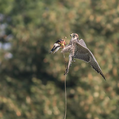 The catch (microwyred) Tags: icbpnewent birds wildlife lannerfalcon