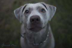 Lou (alexpauen) Tags: sigma art 35mm f14 dog doggy dogs hund hunde nikon photo sun sonne sommer sonnenschein sunshine warm haustier tier outdoor vollformat fullframe d750 d 750 bokeh schrfentiefe