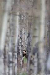 Grizzly Bear in the Woods (Burrard-Lucas Wildlife Photography) Tags: bear bears grandtetonnationalpark