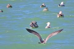 36. Port en Bessin - Huppain (@bodil) Tags: oiseaux bird goland herringgull