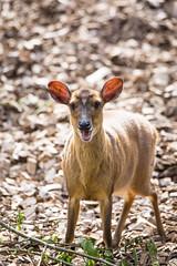 Muntjac (Cloudtail the Snow Leopard) Tags: muntjak zoo basel tier animal mammal sugetier muntjac deer barking mastreani muntiacus