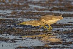Garcilla cangrejera (Ardeola ralloides) (jsnchezyage) Tags: garcillacangrejera ardeolaralloides ave fauna naturaleza birding bird