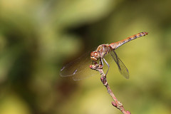 (zsolt75) Tags: canon100d sigma 70300 hungary nature dragonfly outdoor autumn
