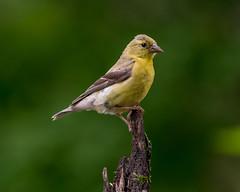 American Goldfinch-3164 (RG Rutkay) Tags: americangoldfinch bird birds immature workshop outdoor nature yellow bokeh