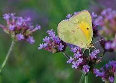 Another Verbena lover. (KsCattails) Tags: butterfly butterflybush d7000 insect kansas kscattails nikon overlandparkarboretum sulphur yellow orange