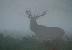 Red-Deer-2978 (Kulama) Tags: reddeer deer stag rutting mist fog morning sunrise autumn nature wildlife woods canon7d sigma150600c563