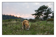 39/52 Nick & the Sun Setting (Eline Lyng) Tags: sunset eveningsun outdoor seaside landscape nature pet dog animal canine golden retriever goldenretriever leica leicas 007 summarits70mm 70mm mediumformat 52weeksfordogs norway littledoglaughedstories littledoglaughednoiret