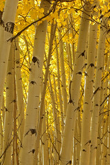 Gold and white (speech path girl) Tags: aspens trees trunks white gold autumn fall