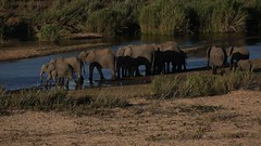 Elephant herd crossing the river  - Explored (crafty1tutu (Ann)) Tags: travel holiday 2016 southafrica africa krugernationalpark animal elephant herd river sabieriver lowersabie crafty1tutu canon5dmkiii ef100400mmf4556lisiiusm anncameron wild inthewild roamingfree free naturethroughthelens