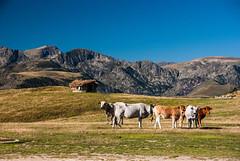 Plateau de Beille (Arige) (PierreG_09) Tags: arige pyrnes pirineos beille plateaudebeille montagne faune vache troupeau btail estive transhumance automne