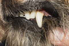 Handle wih care too (Mariette80) Tags: canines chien borderterrier eas