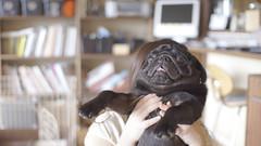 (Pug_nametaro) Tags: dog interior pug everyday pugs  puglove  blackpug