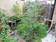 DSC07801 (jeremy_norbury) Tags: summer beds jerry bonsai growing patch 2012 shohin norbury