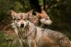 WAITING ON LITTLE RED RIDING HOOD (winn.timothy59) Tags: nature animal zoo wolf wildlife mamal columbusohiozoo allofnatureswildlifelevel1 allofnatureswildlifelevel2 allofnatureswildlifelevel3 allofnatureswildlifelevel4 me2youphotographylevel1