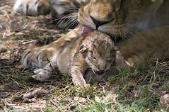 Lion (Vince Burton) Tags: africa baby kenya predator leopanthera dayoldlioncub