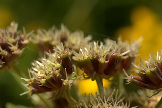 Corky-fruited  Water-dropwort, Oenanthe pimpinelloides, Snape Heath,  Suffolk     DSC_5448