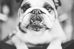 Cuteness overload [explored] (Oh beautiful world.) Tags: blackandwhite bw dog pet pets cute monochrome animal funny looking zwartwit sweet bulldog englishbulldog funnydog bully buldog zw ohbeautifulworld cutebulldog fotograafutrecht hannekevollbehr fotografeutrecht vrouwelijkefotograafutrecht vrouwelijkefotografeutrecht