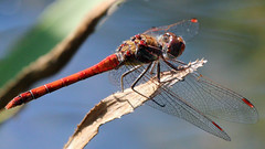 Gemeine Heidelibelle (oliver_hb) Tags: libelle insekten gemeineheidelibelle segellibelle