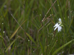 Habenaria radiata and Eriocaulon nudicuspe (Polotaro) Tags: flower nature pen olympus   zuiko ep1     gzuiko50mmf14