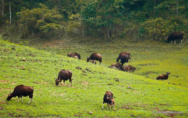 A Family Of Gaur At Periyar Tiger Reserve, Thekkady, Kerala