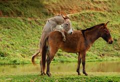 Basic Instinct...Show of presentation! (Arlete Reino Pellanda) Tags: brazil horses nature loving natureza cavalos animais instinto atodeamor instintoselvagem