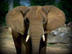 Trunky (Steve.T.) Tags: elephant animal mammal fuji ears wrinkles tusk colchesterzoo hs10