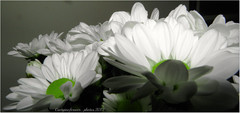 Happy daisy day.... (GIORGINOFOREVER**) Tags: flowers nature daisies happy august21 flowerday